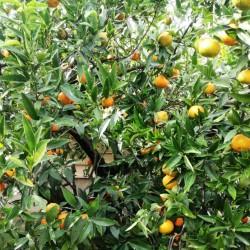 Clementine della Calabria -...
