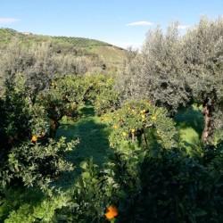 Limone Interdonato della Calabria - coltivate con sistema Agroecologico