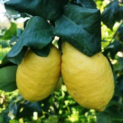 Limone Interdonato della...