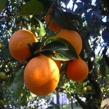 immagine di Arance Tarocco di Sicilia Bio Micorrizate, appese all'albero