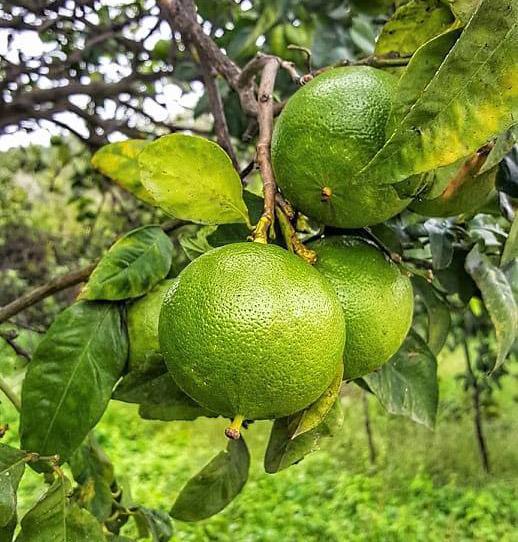 pianta bergamotto