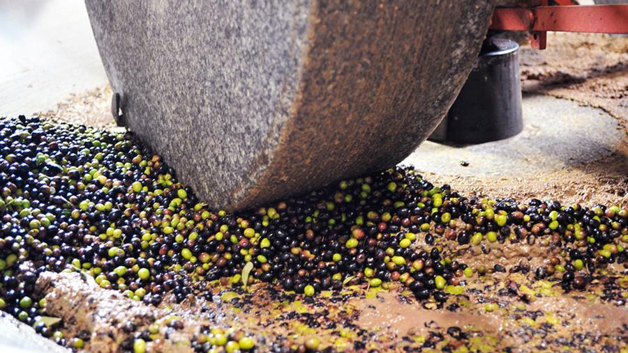 Fase di frangitura delle olive